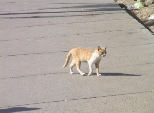 Cat following me in Alexandria in the Streets (Nov 2010) ©